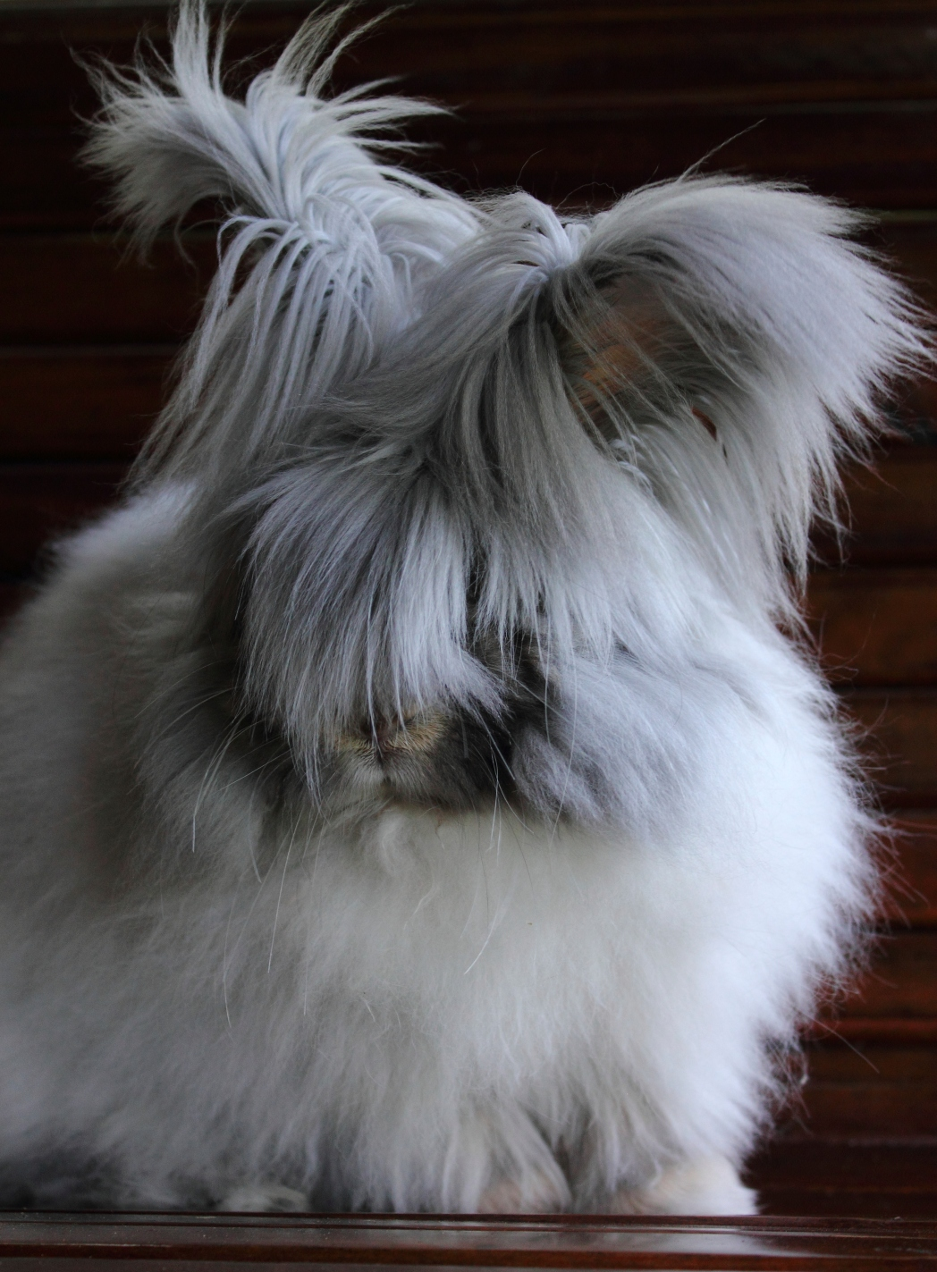 Fluffiest of fluffs, the Angora rabbit