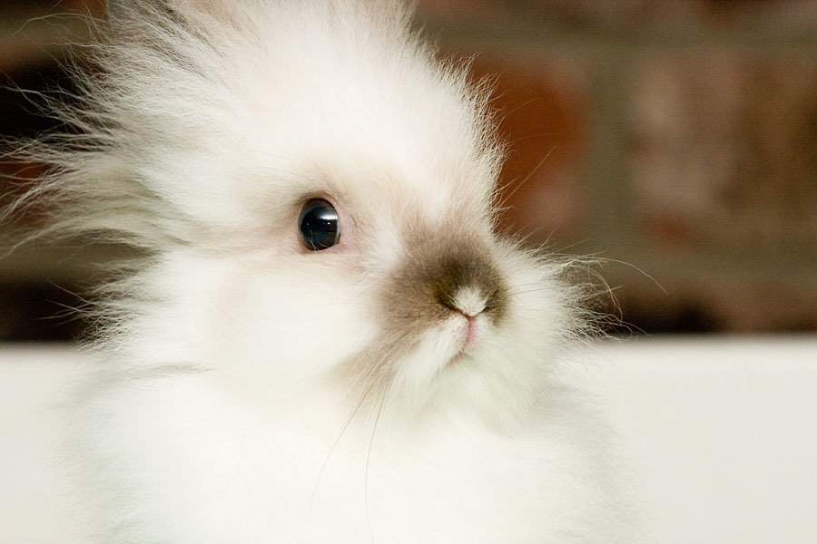 Fluffy furry Lionhead Rabbit