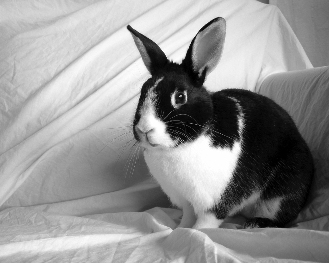 Dutch Rabbit with black and white patches
