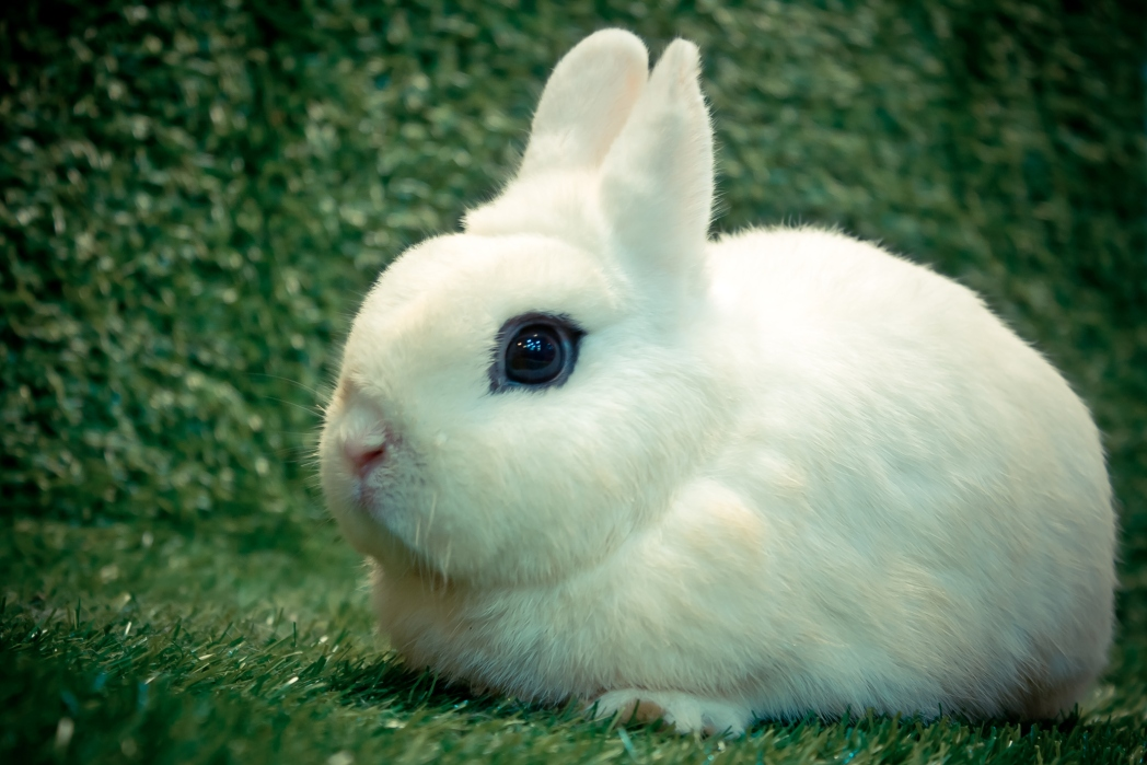 close up of a Blanc De Hotot bunny