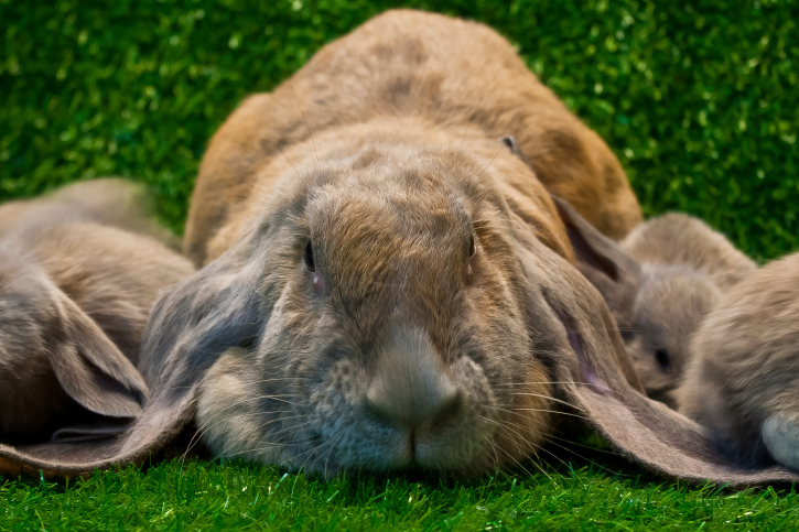 Super long floppy ears on the English Lop