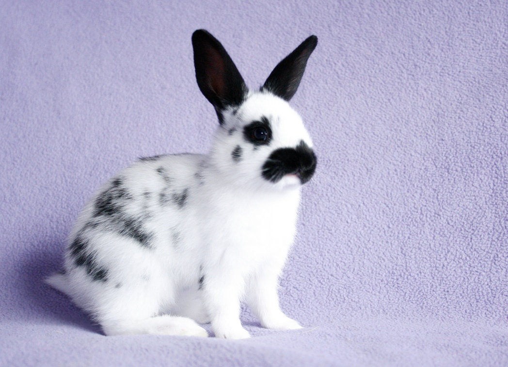 Baby English Spot rabbit