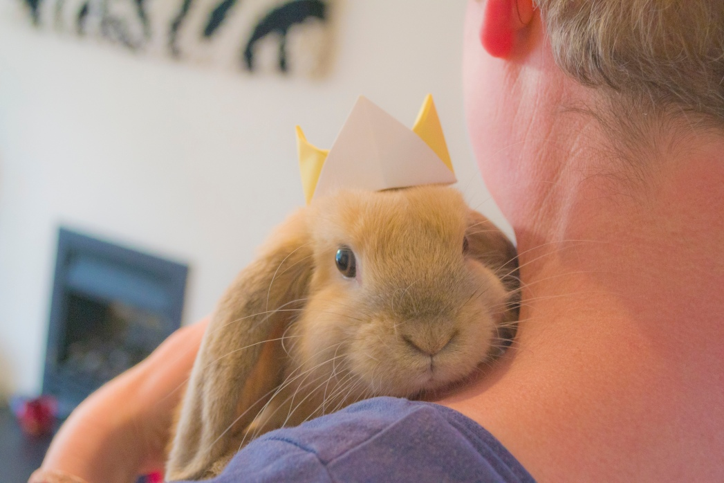 Mini lop rabbit being cuddled and wearing a king hat