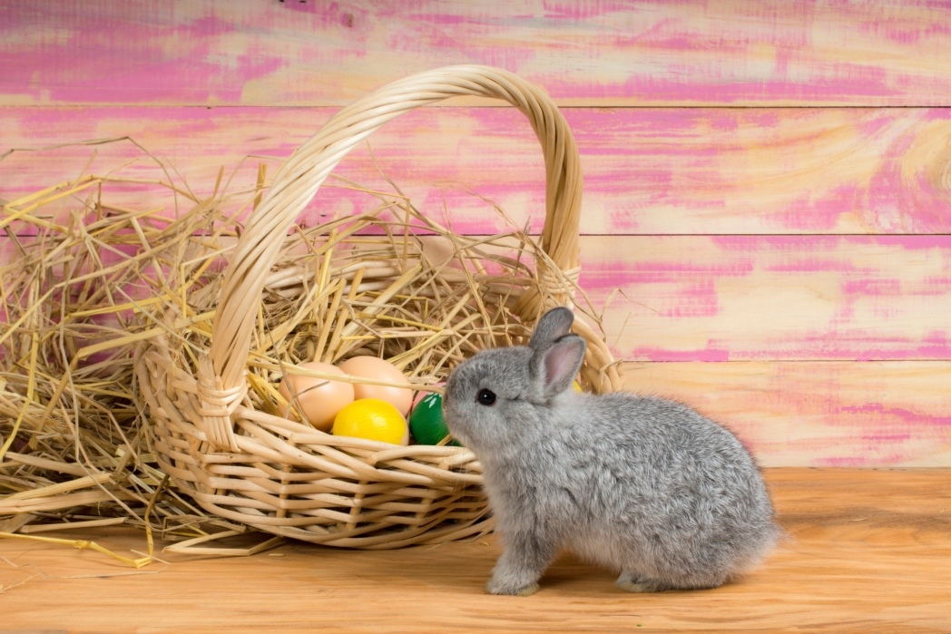 Pygmy Bunny nosing around some easter eggs