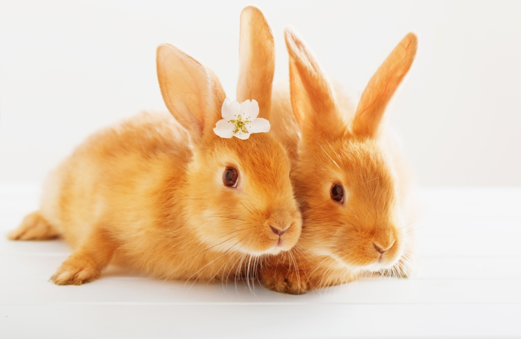 Two red rabbits with some flowers on a white background